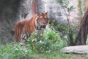 Còn lỗ hổng về quy định pháp lý trong việc nuôi nhốt hổ