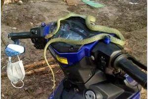 Kinh hãi con rắn dài hơn 1 mét nằm vắt vẻo trên đầu xe máy