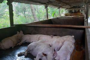 Tiền Giang: Tiêu hủy gần 50 tấn lợn bị dịch tả châu Phi