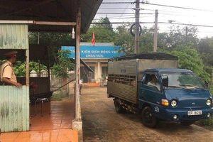 tỉnh Bà Rịa – Vũng Tàu 'căng mình' phòng, chống dịch tả heo châu Phi