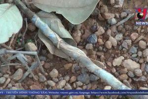 Kẻ gian phá hoại 1.000 cây điều tại Bình Phước