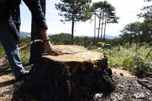 Lâm Đồng: Xử phạt đối tượng hạ độc cây thông rừng để chiếm đất sản xuất