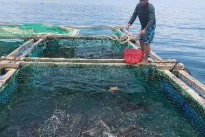 Quảng Ngãi: Có vốn, dân nuôi cá to bự, trồng tỏi thơm làm giàu