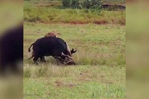 Trâu mẹ liều mình đối đầu với sư tử để bảo vệ con non