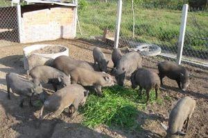 VCCI: Phương thức quản lý danh mục thức ăn chăn nuôi theo tập quán không hợp lý