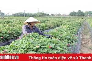 Huyện Vĩnh Lộc có hơn 2.493 ha cây trồng tham gia liên kết, bao tiêu sản phẩm