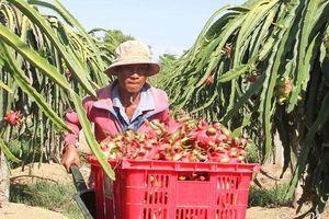Giá thanh long cao kỷ lục 5 năm, nông dân Bình Thuận lãi đậm