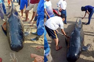 Cá voi gần 1 tấn trôi dạt vào bờ biển Hà Tĩnh