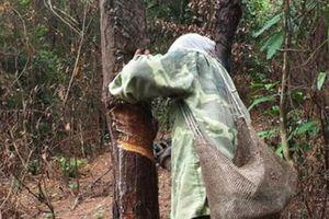 Quảng Ninh: Rừng thông đang chết yểu vì 'nhựa tặc' hoành hành