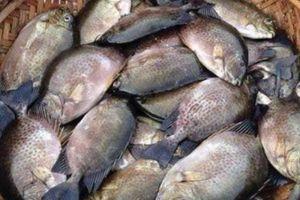 Ông Hưng gặp ông Hối bắt tay nhau nuôi cá dìa, cả 2 thành tỷ phú