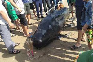 Sững sờ cá voi khổng lồ dạt vào bờ biển Hà Tĩnh