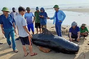 Cá voi nặng 1 tấn, dài gần 3m chết trôi dạt vào bờ biển Xuân Thành