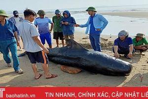 Cá voi nặng khoảng 1 tấn dạt vào bờ biển Nghi Xuân - Hà Tĩnh