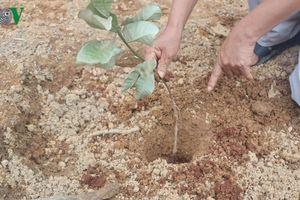 Bình Phước: Điều tra kẻ gian phá hoại 1.000 cây điều của người dân