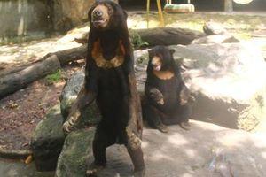 Xuất hiện đoạn clip tố Thảo Cầm Viên bỏ đói gấu đến gầy trơ xương, phải xin ăn khách tham quan: Sự thật là gì?