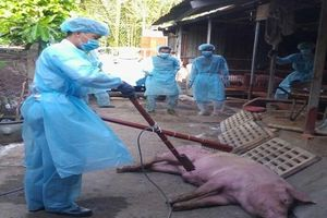 55 tỉnh có dịch tả lợn Châu Phi, gần 2,5 triệu con lợn bị tiêu hủy