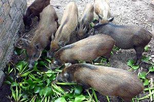 VCCI đề xuất bỏ quy định 'lợn không được ăn chuối, bèo tây'