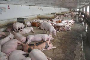 TP.HCM: Hơn 160 con heo bị tiêu hủy do mắc dịch tả lợn châu Phi