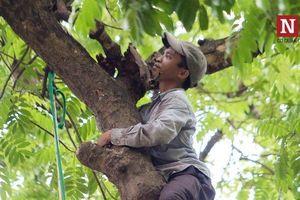 Bất chấp mạo hiểm, người dân đánh đu trên các cành cây cao hái sấu, thu tiền triệu mỗi ngày