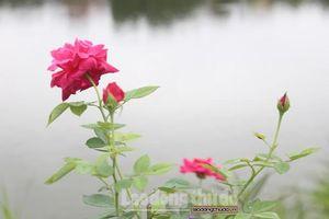 Huyện Thanh Trì: Rực rỡ con đường hoa hồng tại xã Yên Mỹ