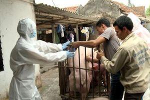 TP.HCM phát hiện ổ dịch tả lợn châu Phi đầu tiên