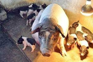 Quảng Ninh lên phương án đưa lợn quý ra đảo để tránh dịch