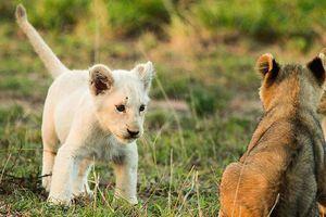 Khoảnh khắc đáng yêu của sư tử trắng quý hiếm bậc nhất thế giới