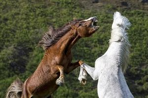 Cặp ngựa hoang đại chiến khốc liệt vì người đẹp