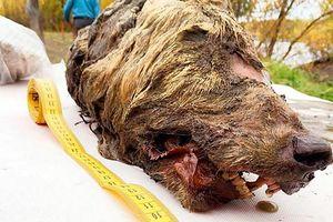 Phát hiện đầu sói nguyên vẹn từ 40.000 năm trước