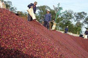 Giá cà phê bất ngờ giảm mạnh