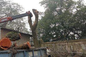 Lô gỗ sưa 'trăm tỷ' ở Hà Nội được định giá khởi điểm thế nào?