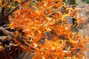 Loài lan đơn cam đẹp rực rỡ, dân 'sành lan' Việt mê mẩn