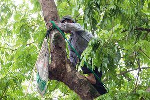 'Người nhện' đu mình trên cây hái sấu non, kiếm bạc triệu ngày
