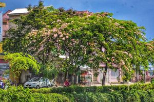 Mê mẩn ngắm nhìn muồng hoa đào xứ Huế tỏa hương thơm khoe sắc hồng