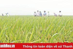 Hiệu quả từ những cánh đồng một giống lúa