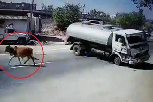 Clip: Bò thả rông lững thững sang đường, tài xế xe bồn bẻ lái 180° khét lẹt như phim