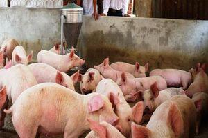Đông Nam Bộ tiêu hủy hơn 900 tấn lợn bị dịch tả lợn châu Phi