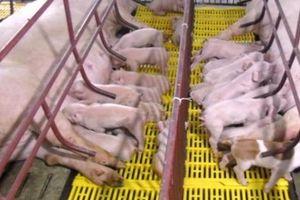 Hỗ trợ 500.000 đồng/con để giữ bằng được đàn lợn giống thoát dịch