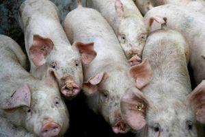 Triều Tiên: Dịch tả lợn châu Phi bùng phát