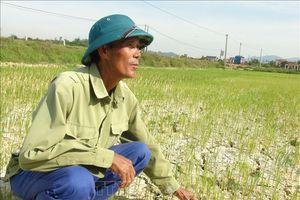 Nhiều diện tích lúa ở Quảng Bình bị ảnh hưởng bởi hạn hán