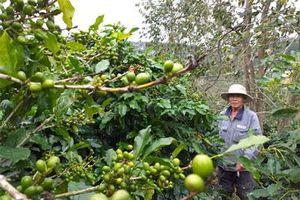 Lâm Đồng: Vườn trồng xen 3-4 tầng cây chia lửa với nỗi buồn cà phê thấp rề rề