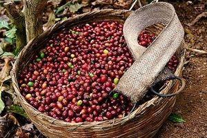 Giá cà phê hôm nay 13/6: Tăng nhẹ trở lại mức 31.800 – 32.800 đồng/kg