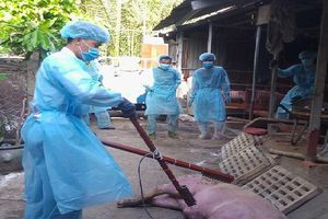 TP.HCM: Hỗ trợ 80% giá thị trường với lợn bị nhiễm dịch tả heo châu Phi