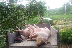 Quảng Bình: Xuất hiện ổ dịch tả lợn châu Phi