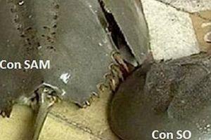 An Giang: Cảnh báo ngộ độc chết người khi ăn nhầm con So biển
