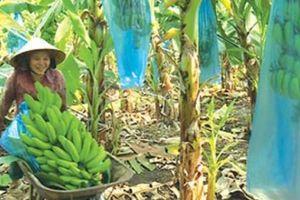 Chán tiêu trồng chuối từ cây bé tin hin, lãi lớn vì bán trái sang Tây