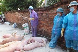 Hà Nội: Dịch tả lợn châu Phi vẫn diễn biến phức tạp