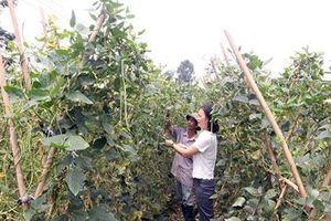 Vĩnh Phúc: Trồng rau hữu cơ, dân ở đây bán đắt hàng