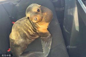 Sư tử biển cản trở giao thông, vội 'đầu thú' cảnh sát