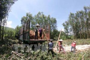 Thoát nghèo nhờ nguồn vốn vay trồng rừng
